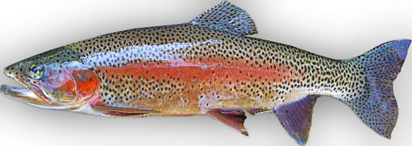 rainbow-trout-2350400_960_720
